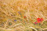 Wheat fields and wildflowers near Bavorov, Bohemia, Czech Republic.