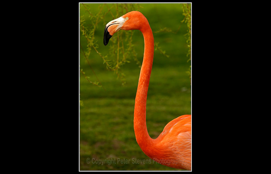 American Flamingo (Phoenicopterus ruber) - Whipsnade Zoo, Bedfordshire  - 2nd April 2005