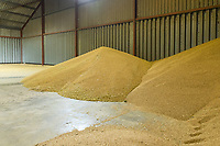 Freshly harvested wheat in grain store - Lincomshire, August