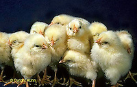 DG05-087x  Chick Embryology - newly hatch chicks dry and fluffy