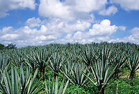 Agave plantation with intense blue sky with puffy white clouds.#5863. Merida Yucatan Mexico.