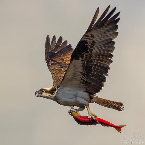 Osprey in Flight with Kokanee, Idaho