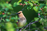 Cedar waxwing feeding in a serviceberry bush.