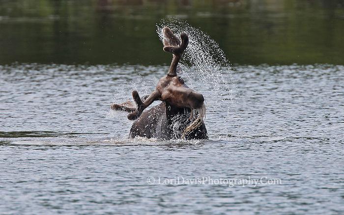 Bull Moose Shaking Head in Pond #M69