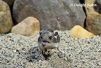 MU31-055z   Silky Pocket Mouse - Perognathus flavus