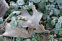 A leaf is frozen to the ground Tuesday Jan. 5, 2021 near West Fork. The National Weather Service is calling for a chance of rain or snow this week with overnight low temperatures near and below freezing. Visit nwaonline.com/210106Daily/ and nwadg.com/photos. (NWA Democrat-Gazette/J.T. Wampler)