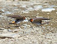 Cliff swallows gathering mud