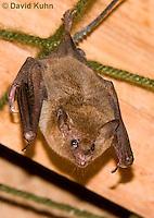 0715-1114  Seba's Short-tailed Bat, Roosting in Building in Belize, Carollia perspicillata  © David Kuhn/Dwight Kuhn Photography