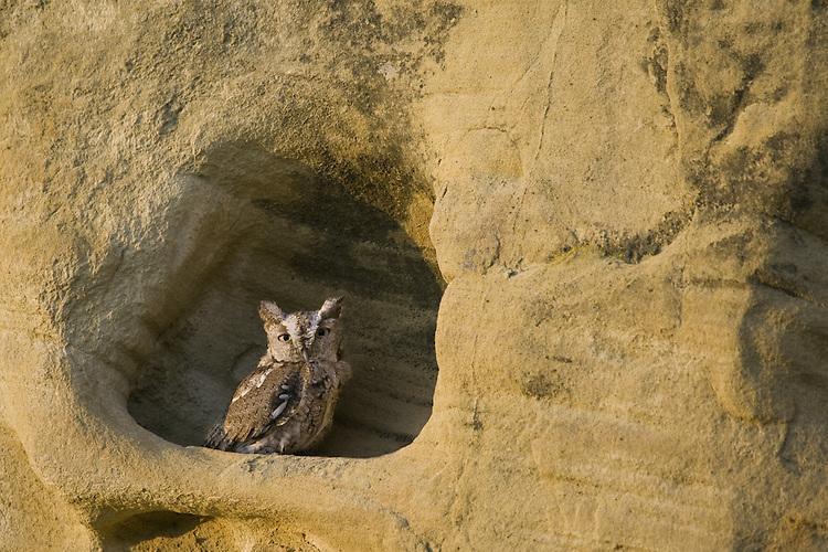 Eastern Screech-owl sitting in a depression on a sandstone wall