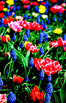 Mixed Hyacinth and Tulips decorate a garden in spring delight.