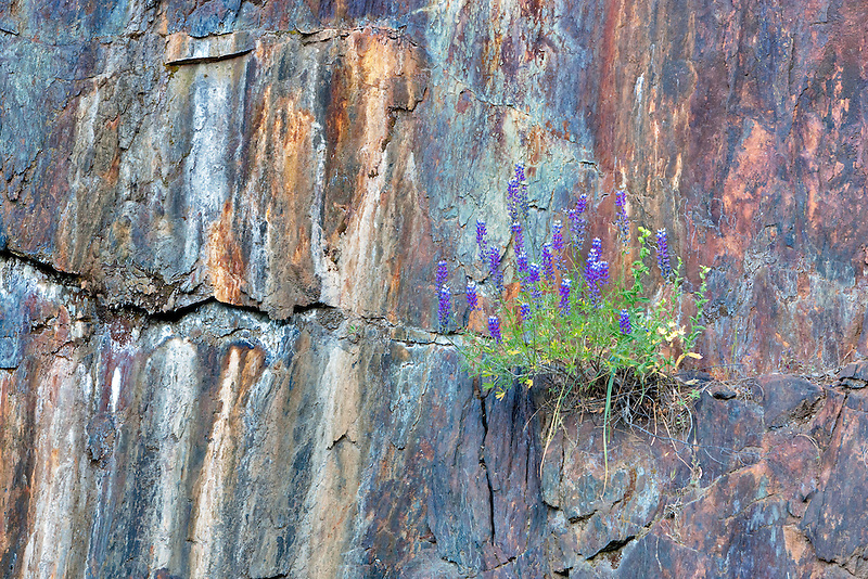 Lupine frowing in rock wall. Yosemite National Park, California