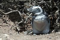 Magelhaen Pinguin (Spheniscus magellanicus) kolonie bij Punta Tombo, ArgentiniâEUR~