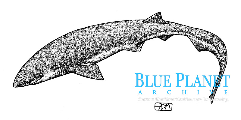 Bluntnose sixgill shark, Hexanchus griseus, swimming, pen and ink illustration.