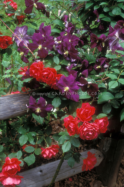 Red climbing roses and purple Clematis x jackmanii vine on wooden post and rail fence, planted together