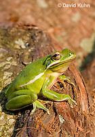1218-1011  American Green Treefrog Sitting on Tree, Hyla cinerea  © David Kuhn/Dwight Kuhn Photography