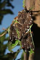Agraulis vanillae é comum e voa ativamente pelos jardins e áreas ensolaradas. Com suas nove subespécies tem distribuição registrada dos Estados Unidos ao Uruguai (Lamas, 2004). Os adultos podem dormir em grupos semi-dispersos em gramíneas (Brown, 1992).<br /> Belém, Pará, Brasil.<br /> Foto Carlos Borges