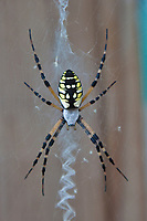 Argiope Spider, female, also known as Corn spider, writing spider, and black and yellow garden spider.  North Carolina, Outer Banks, Carrituck Sound.