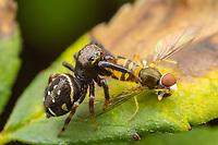 Jumping spider (Paraphidippus aurantius) with its caught prey, a Margined Calligrapher (Tomomerus marginatus) Syrphus Fly.