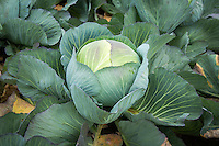 Dutch white cabbage ready for harvest - Lincolnshire; November