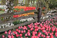 Rustic fence wiht pink flower tulipa 'Elizabeth Arden' in Roozengaarde demonstration garden, Tulip Festival, Skagit Valley Washington