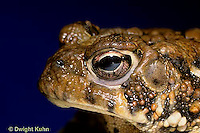 FR11-141z  American Toad - close-up of head - Anaxyrus americanus, formerly Bufo americanus