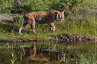 Siberian Tiger walking along a pond - CA