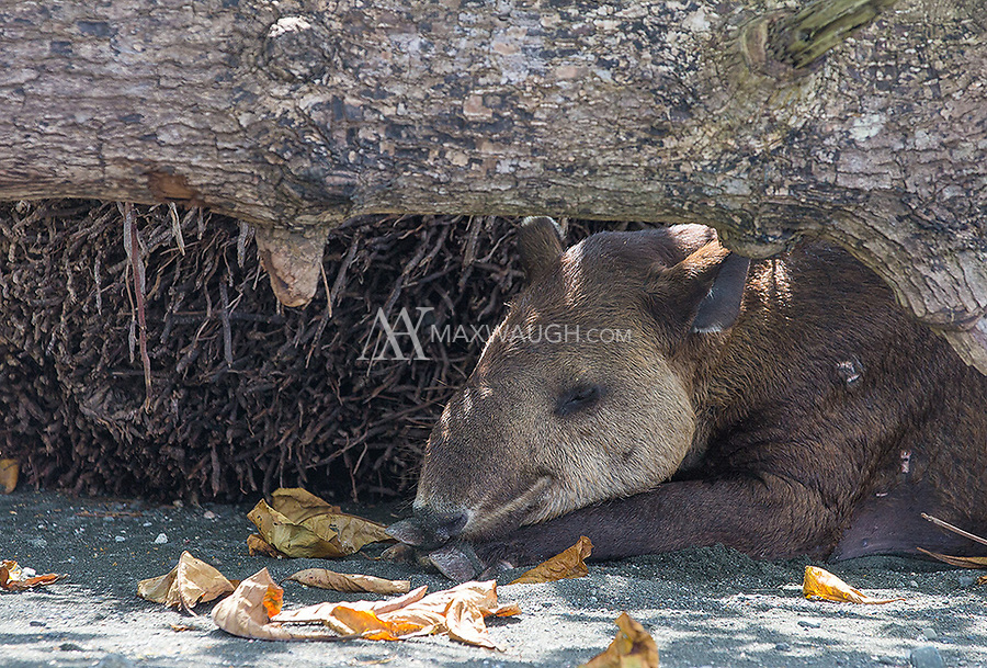 This emaciated tapir was busy chewing bark off tree branches and napping on the beach.