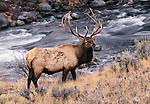 Elk bull next to stream, Yellowstone National Park, Wyoming, USA
