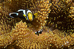 Lembeh Strait, Indonesia; a pair of saddleback anemonefish, adult and offspring, swimming amongst their host anemone