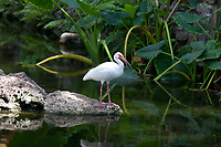 White Ibis (Eudocimus Albus), Wading Birds, Florida