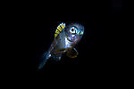 Bluefin Driftfish, Psenes pellucides, bathypelagic; depth range - 1000 m