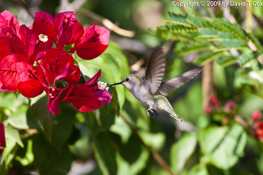 Costa's Hummingbird female, San Ignacio, Baja Sur, Mexico