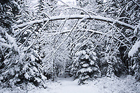Aspen laden with snow bend to form an arch over a roadway.