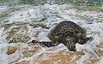 A beach turtle swan ashore a beach in Hawaii.