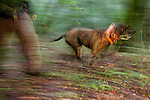 Plott Hound (Canis familiaris) running in forest with houndsman, Troy Collinsworth, during attempt to re-collar a male puma, Santa Cruz Puma Project, Uvas Canyon County Park, Santa Cruz Mountains, California