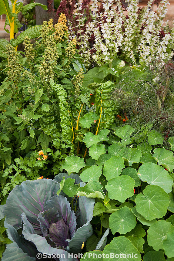 Cabbage, Chard, Quinoa with nasturiums in mixed garden bed, edible landscape with flowers, vegetables, and herbs