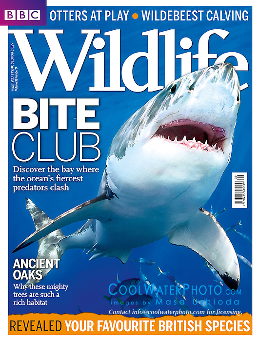 BBC Wildlife Magazine August 2013 issue, magazine cover use, editorial, USA, Image ID: Great-White-Shark-0014-V