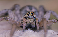 Wolf Spider, Lycosidae, adult, Starr County, Rio Grande Valley, Texas, USA, May 2002