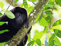 Golden-mantled howler monkeys are quite loud, acting as nature's morning alarm.  They sometimes got going as early as 3:30am during our trip.