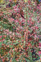 Cotoneaster horizontalis 'Variegatus' variegated fall foliage = C. atropurpureus 'Variegatus'