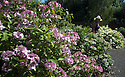 """20/06/16<br /> <br /> Helen Bousie admires the garden.<br /> <br /> Tucked away in a hidden walled garden of an inner-city public park, the UK's largest hydrangea collection is putting on its best display ever, following the sudden heatwave after several months of rain.<br /> <br /> Full story:  <br /> <br /> https://fstoppressblog.wordpress.com/britains_biggest_hydrangea_garden/<br /> <br /> .And what used to be a flower traditionally associated with """"granny's cottage garden"""" is blooming back into fashion thanks to the rising trend for all things shabby chic and retro-styled.<br /> <br /> There are more than 600 individual hydrangea bushes with a dozen or so different varieties, planted in Derby's Darley Abbey park, formerly part of an estate belonging to the nearby cotton mills.<br /> <br /> All Rights Reserved, F Stop Press Ltd. +44 (0)1773 550665"""