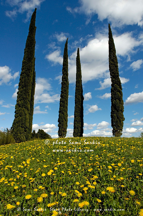 Cypress trees in a meadow in springtime, Aix-en-Provence, France.