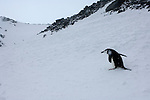 A chinstrap penguin climbs a hill on Coronation Island in the South Orkney Islands.