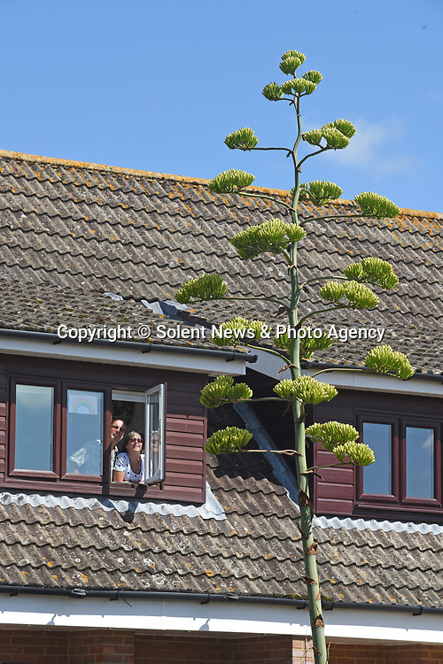 Pictured:  Rob and Julie Crook look out of their windows into their front garden looking at the giant agave spike.<br /> <br /> An exotic 'tequila plant' has suddenly rocketed to 25ft in height after mysteriously sprouting in a couple's front garden after two decades lying dormant.  The giant agave's stalk unexpectedly began shooting up 12 weeks ago and now towers over owners Rob and Julie Crook's two-storey home in a little cul-de-sac.<br /> <br /> The grandparents-of-two have been left stunned by the plant's 'Jack and the Beanstalk' type growth after planting it in 2005.  Mrs Crook was gifted a six-inch pup - an offspring of the parent plant - by a friend 20 years ago after her fascination with the asparagus-like shrub.<br /> <br /> But the 59-year-old said she never expected the agave to grow to such heights at the front of the couple's home in the small Hampshire village of Charlton.  SEE OUR COPY FOR DETAILS.<br /> <br /> © Simon Czapp/Solent News & Photo Agency<br /> UK +44 (0) 2380 458800