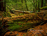Downed Redwood, Sequoia sempervirens, Muir Woods National Monument, Marin County, California