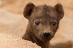 Spotted Hyena (Crocuta crocuta) one month old pup in den, Kruger National Park, South Africa