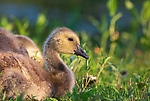 Gosling resting next to a pond in northern Wisconsin.