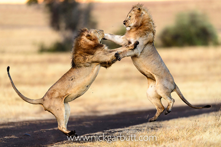 A pair of male lions (Panthera leo) mock fighting / play fighting. Ngorongoro Crater, Ngorongoro Conservation Area (NCA), Tanzania.