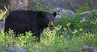 It wasn't a great spring trip for black bear photography in the park, but we had a few close sightings.