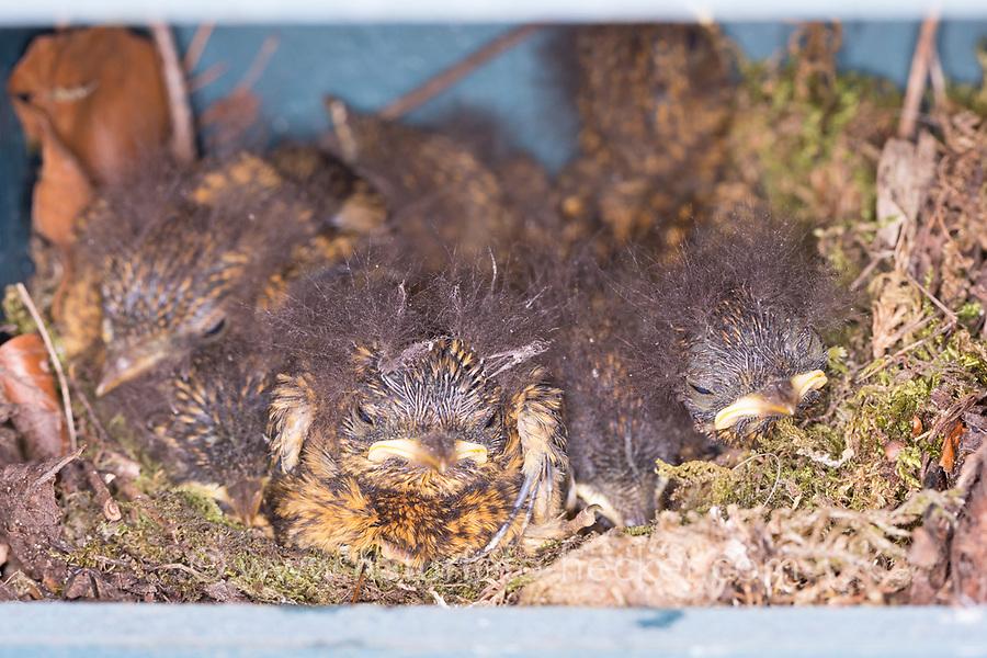 Rotkehlchen, Küken im Nistkasten, Halbhöhle, Halbhöhlenkasten, Nest, Erithacus rubecula, robin, European robin, robin redbreast, nest, Le Rouge-gorge familier